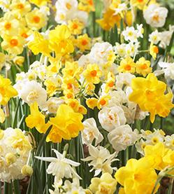 Daffodil mix Fragrant