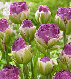 Tulip Exquisite