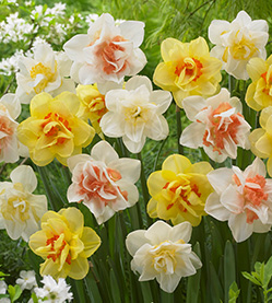 Daffodil Mix Double
