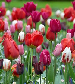 Tulip mix Burning Love