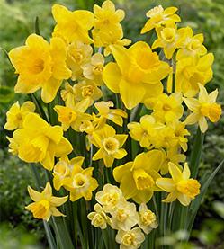 Daffodil Amsterdam