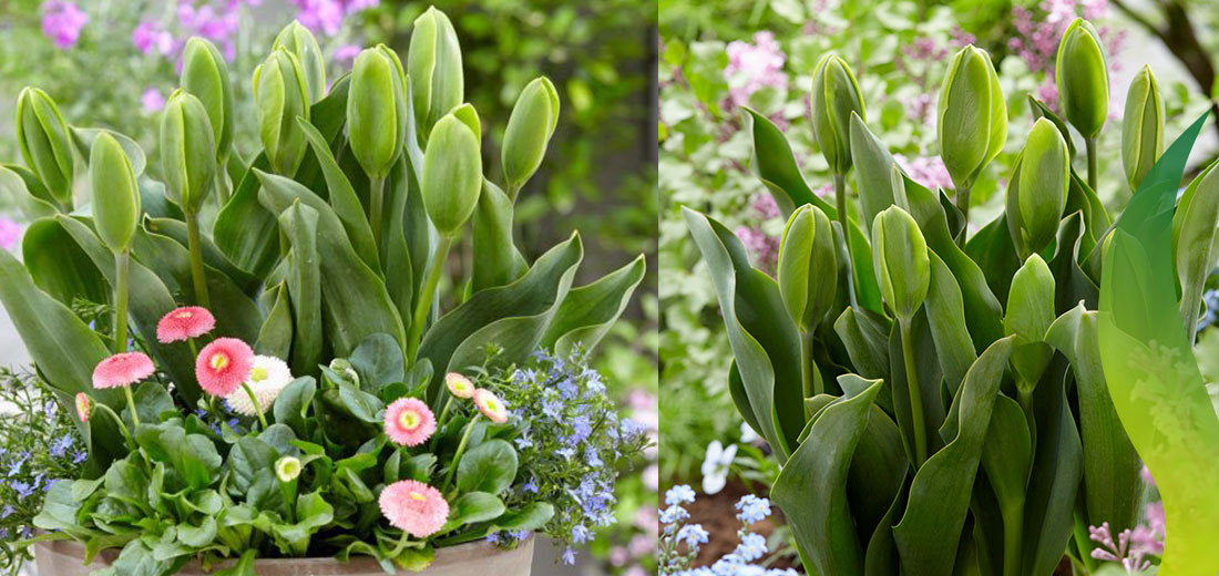Meet Our New Tulip: Green Power