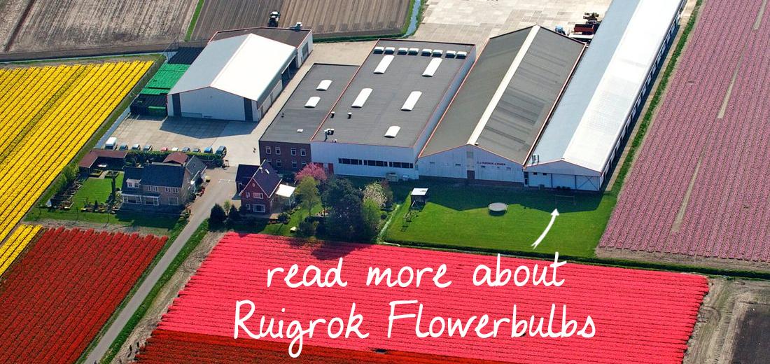 ruigrok-flowerbulbs-zilk-netherlands