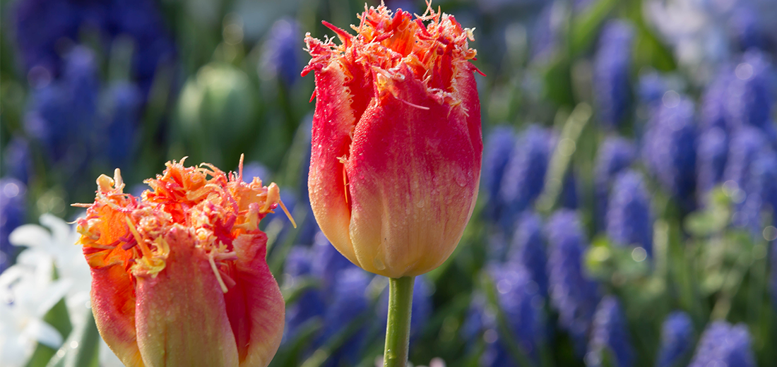 The Best Tulips For Your Garden