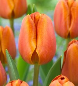Tulip Brown Sugat