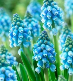 Muscari Atlantic