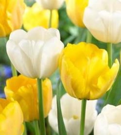 Sunny Spring Ruigrok Flowerbulbs