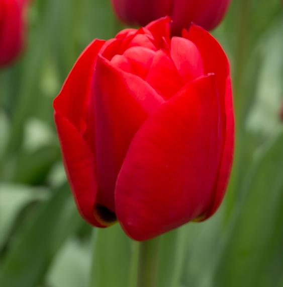tulip-ruigrok-flowerbulbs-retailspecialist