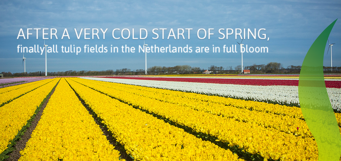 Check Out Our Tulip Fields