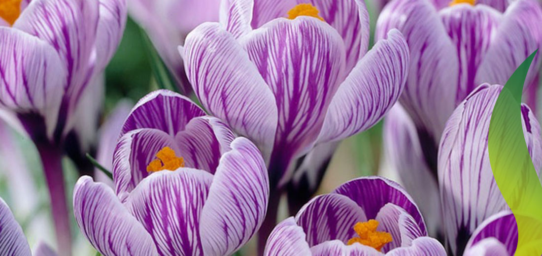 Crocus Pickwick Ruigrok Flowerbulbs