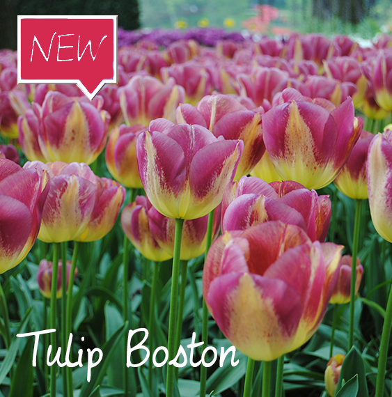 Tulip Boston Ruigrok Flowerbulbs