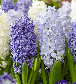 Hyacinth Mix The Blues