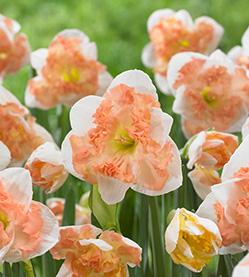 Daffodil Sunny Girlfriend