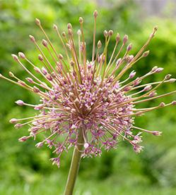 Allium Scubertii