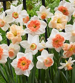 Daffodil Mix Rotterdam