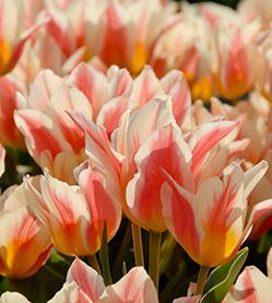 Tulip Quebec