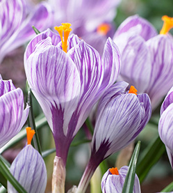 Crocus Pickwick