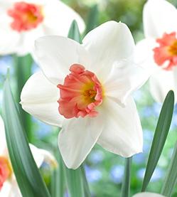 Daffodil Perfect Lady