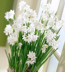Daffodil Paperwhite