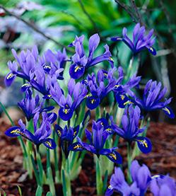 RuigrokFlowerbulbs_0041_Iris Harmony visi26465