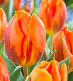 Tulip Hermitage