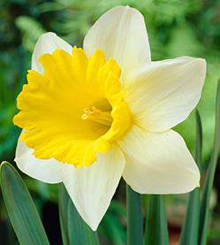 Daffodil Goblet