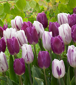 Tulip Flaming Purple