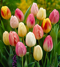 Tulip mix Easter Egg