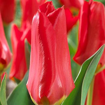 Tulips Red Emperor